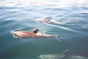Dolphins at Bay of Islands