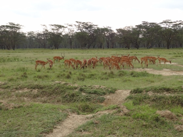 Male Impala with Harem