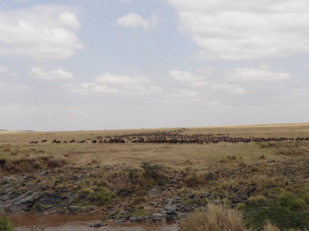 Wildebeest Herd Approaching the River